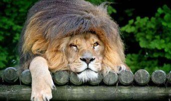 grumpy-lion-496633